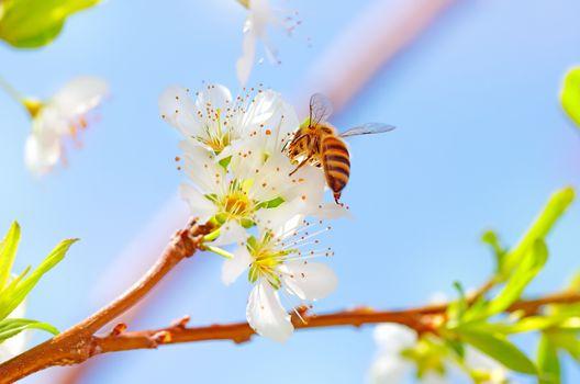 Little bee on blooming tree