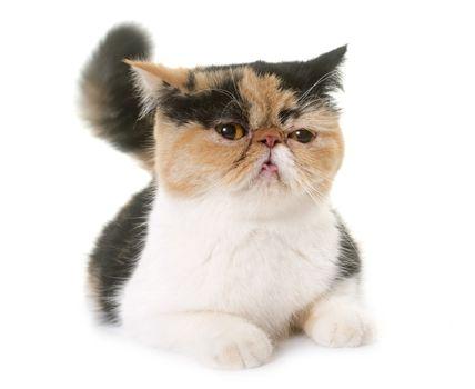 female exotic shorthair cat in heat