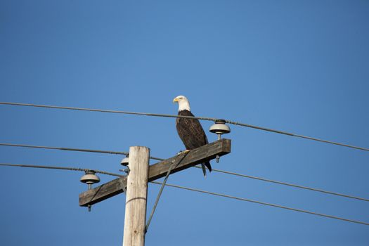 Bald Eagle on Post