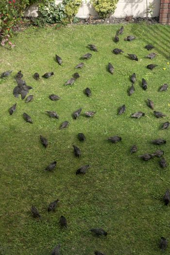 starlings looking for worms in a house front garden lawn