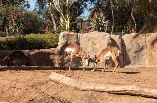 Pronghorn known as Antilocapra americana