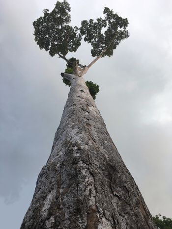 Tall tree from Thailand rising to the sky.