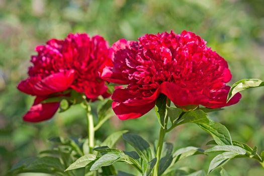 peonys flower