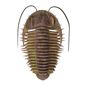 Trilobite ptychoparia animal lived in the Cambrian seas of Eurasia and North America.