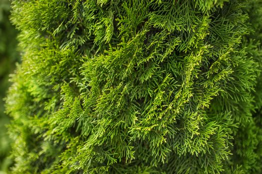 Natural green coniferous background