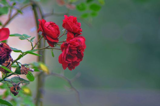 Detail of red roses bush as floral background. Close up view of red roses in Caucasus. Azerbaijan. Blurred background