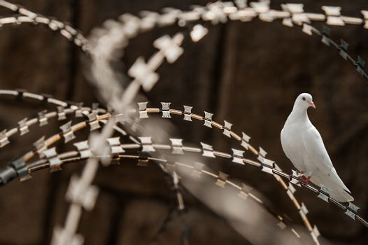 Close-up of a rusty metal razor fence wire with a white pigeon on it.