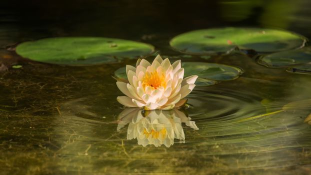 Water Lilly Blossom in Pond