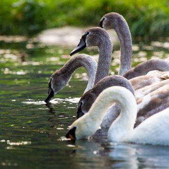 Tranquil Scene of a Swan Family Swimming on a Lake at autumn time.