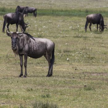 A Wildebeest mother and newly born calf, Ngorongoro Crater, Tanzania.