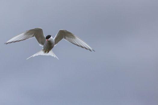 Whilst their mates incubate their eggs, these Arctic Terns head
