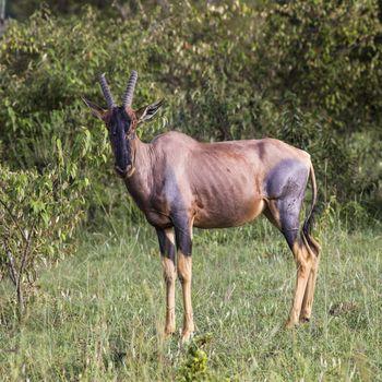 Topi Antelope in the National Reserve of Africa, Kenya