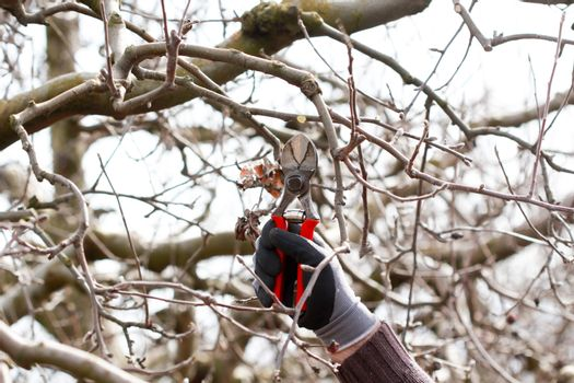 image of a Pruning apple tree in march