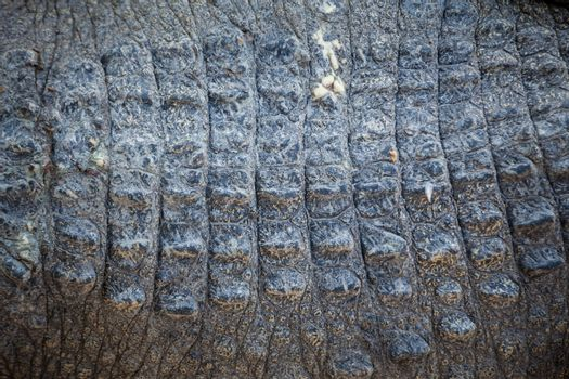 Close up of Crocodile skin texture