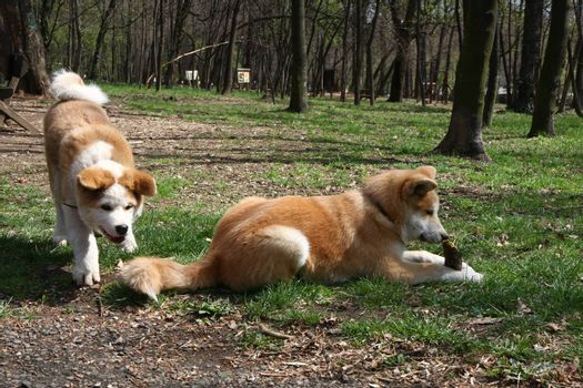 Cute Akita Inu puppies playing in public park