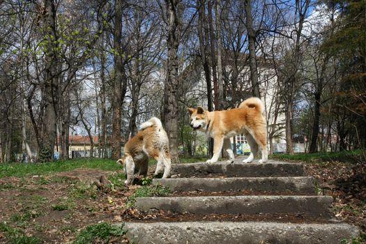 Akita inu puppies walking in public park