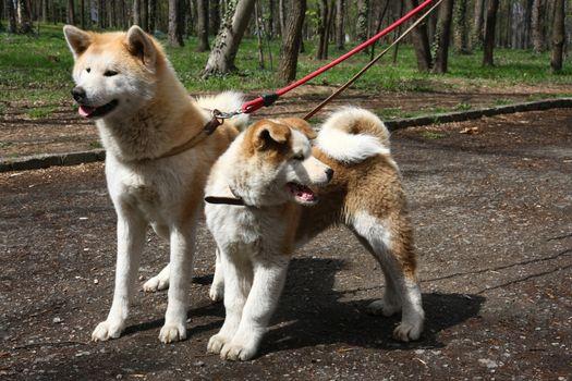 Akita inu dogs walking in public park