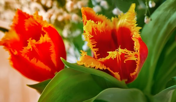 Two red Tulip with yellow edging on the flowers.