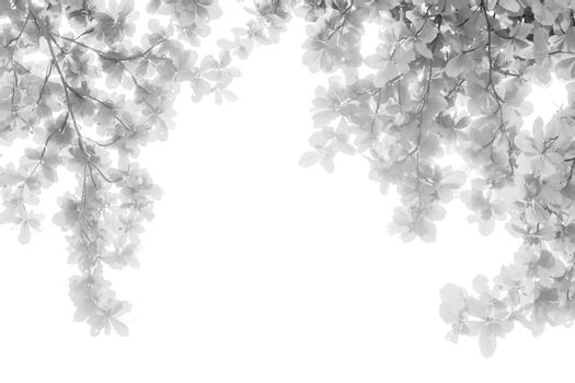 Black and white infrared of tree leaves in  isolated white background