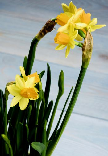 Bunch of Wild Yellow Daffodils with Buds closeup on Blurred Blue Wooden background