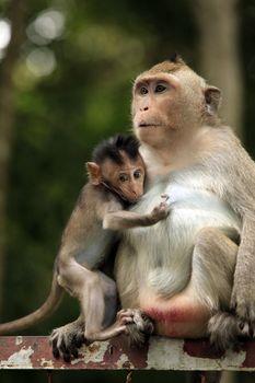 Family of monkeys. Cambodia