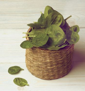 Arrangement of Small Raw Spinach Leafs in Wicker Cask closeup on Light Blue Wooden background. Retro Styled