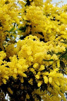 Beauty Yellow Lush Foliage Flowering Mimosa closeup Outdoors. Selective Focus