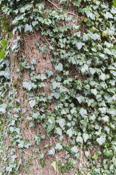 Ivy growing around tree trunk