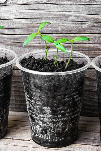 Seedling in plastic cup