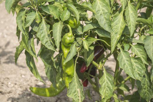 Green pepper growing