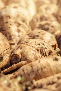 Harvested sugar beet crop root pile