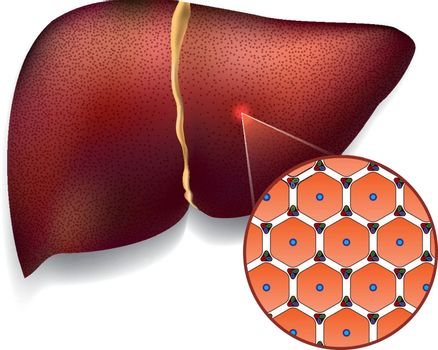 Medical vector illustration of normal liver cell structure