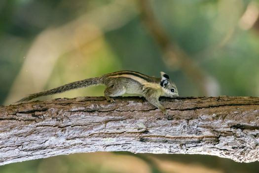 Image of Chipmunk small striped rodent on tree. Wild Animals.