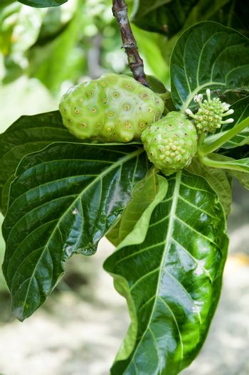 a some noni fruit on the tree