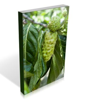 book of some noni fruit on the tree