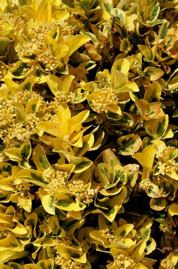 Background of Evergreen Yellow Bush with Flowers and Seeds closeup Outdoors