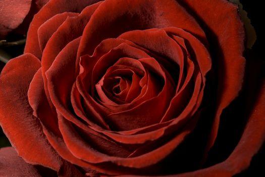 Red Rose Close Up macro image.