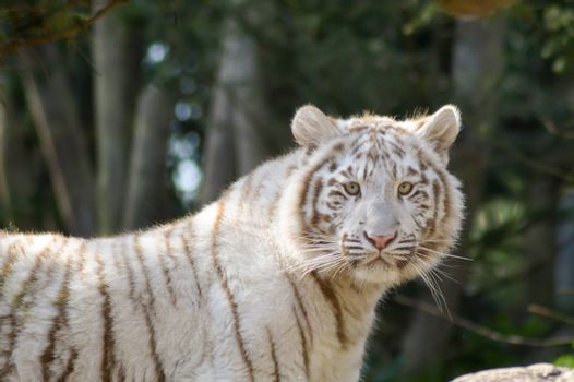 Look of a white Tiger in an animal park of France