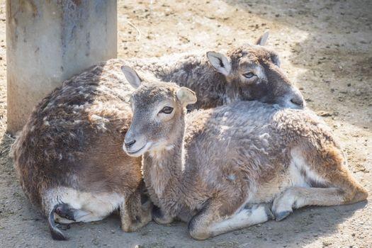 Two European mouflons resting quietly, Ovis Musimon