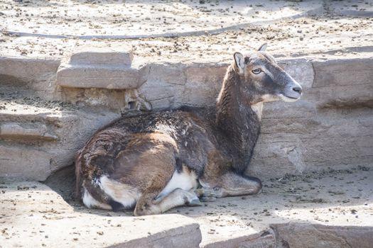 European mouflon resting quietly, Ovis Musimon