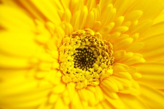 Gerber Macro. acro Photography of the Yellow Beautiful Gerber Flower. Floral Photo Collection