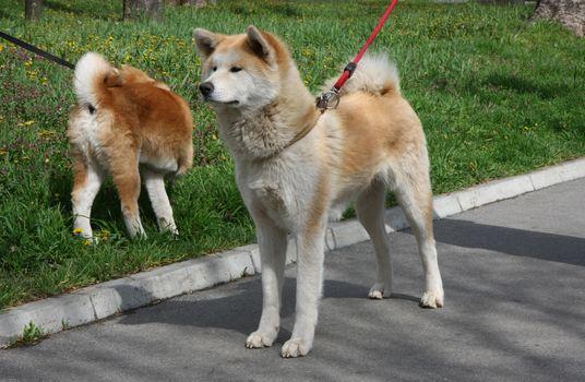 Beautiful Akita inu female posing on the sidewalk