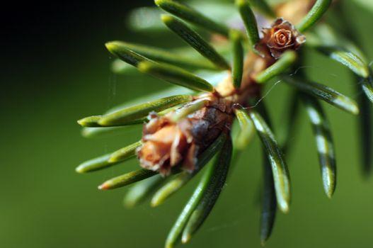 The Pine - Macro Photography Nature Shot