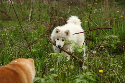 Cute puppies enjoying and playing on the meadow
