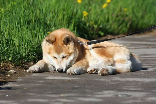 Akita Iny puppy loafing on the sidewalk