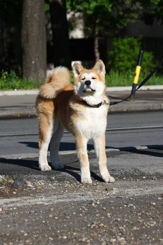 Akita Inu puppy proudly posing on the sidewalk