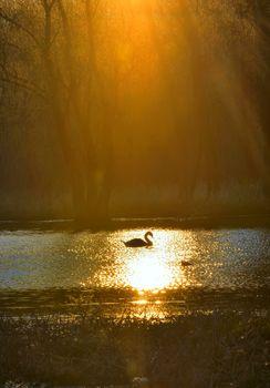 Single swan at sunrise