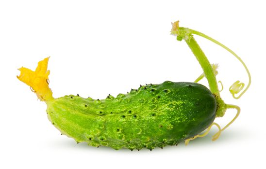 Juicy green cucumber with stem
