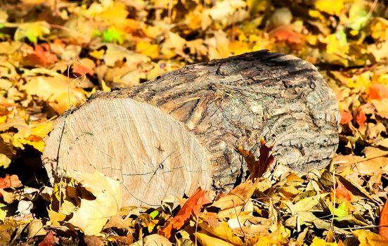Oak logs on fallen colorful autumn leaves