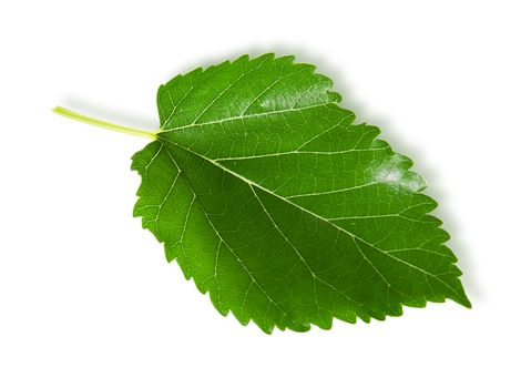 Single green leaf mulberry
